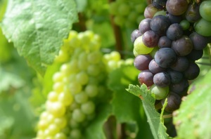 champagne-grapes